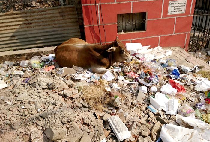 ゴミを漁る牛