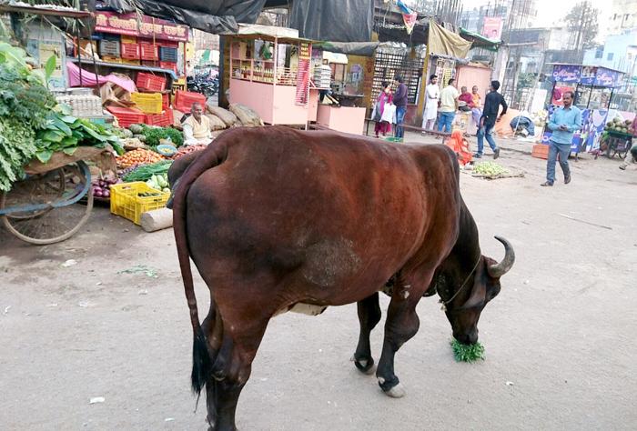 エサを求める牛